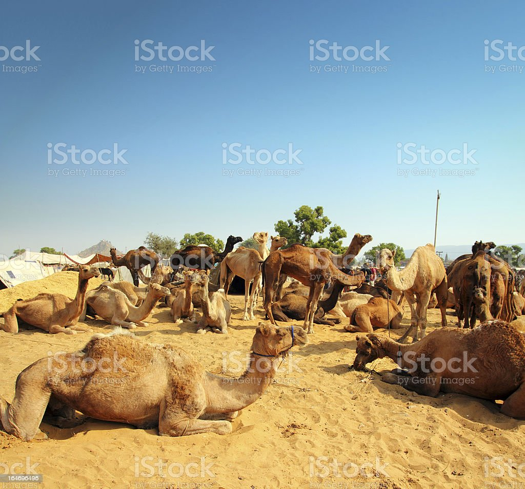 camels during festival in Pushkar royalty-free stock photo