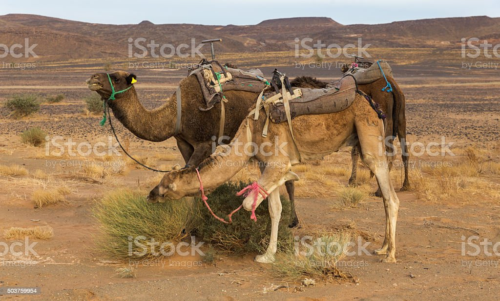 Camels eating the grass in Sahara desert, Morocco stock photo