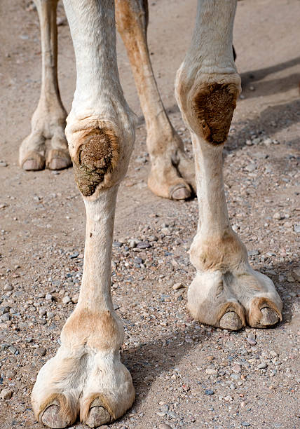 Camels feet stock photo