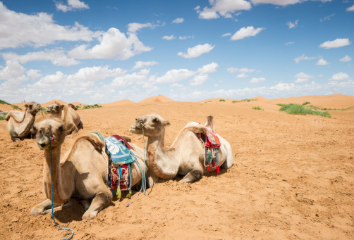 Camels have a rest in desert ,Inner Mongolia,china