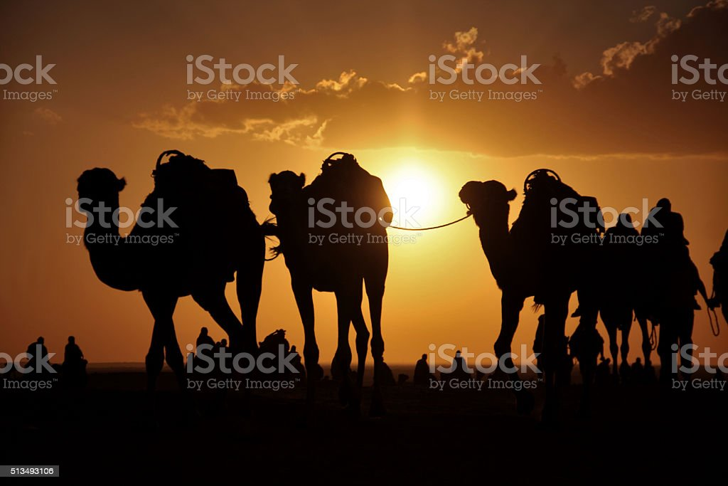 camels in a desert stock photo