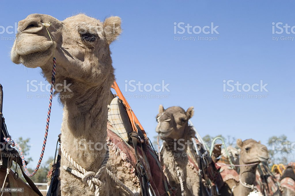 Camels in a line stock photo