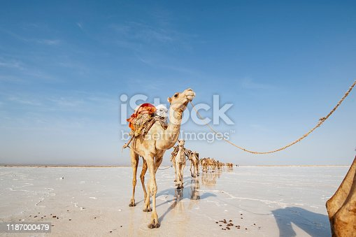 A caravan of camels on their way through the Ass Ale salt lake in the Danakil Desert in Ethiopia. Every day more than 1000 camels are arriving at the place where the Afar people are braking plates of salt out of the ground - the traders are buying these salt-blocks and transporting themt with their caravans of camels and donkeys in 5 - 6 days back to the Highlands of Northern Ethiopia.