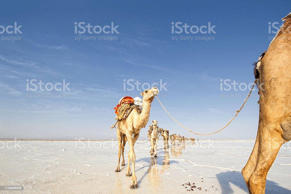 Camels in a salt caravans, Danakil Desert, Ethiopia stock photo