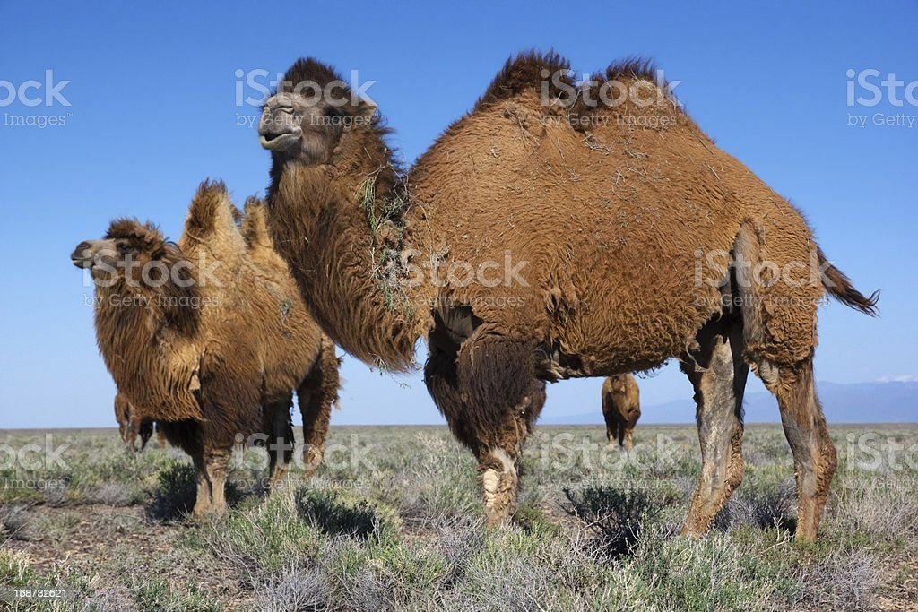 Camels in desert of Kazakhstan stock photo