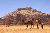 Camels in desert, Wadi Rum Reserve, Jordan