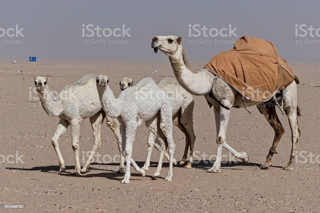 Kamele in der Wüste  – Foto