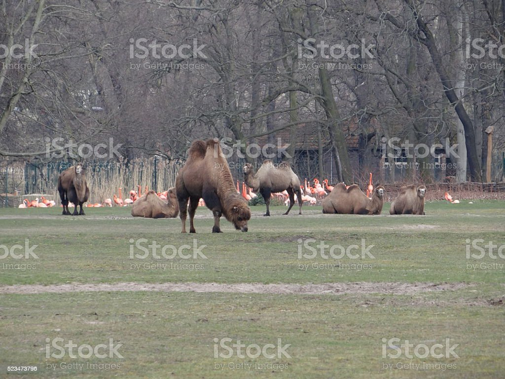 Camels in front of flamingos stock photo