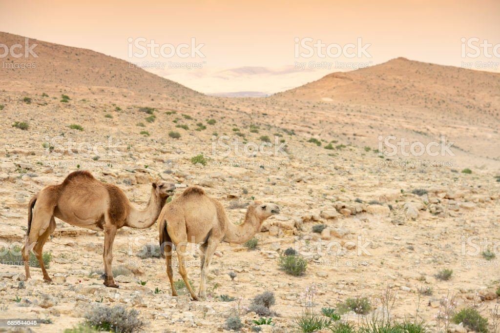 Camels in Judean desert near the Dead sea royalty-free 스톡 사진