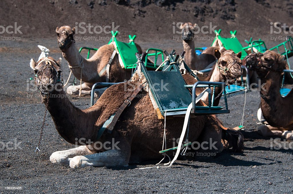 Camels In Lanzarote royalty-free stock photo