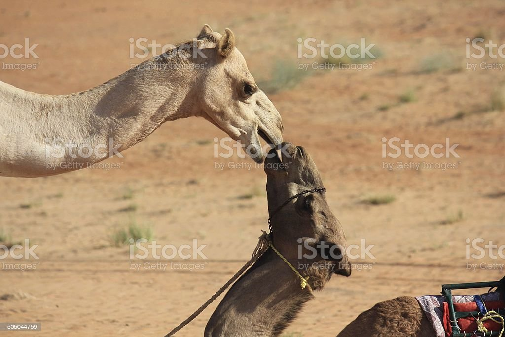 Camels in Love. A Kiss in the desert stock photo