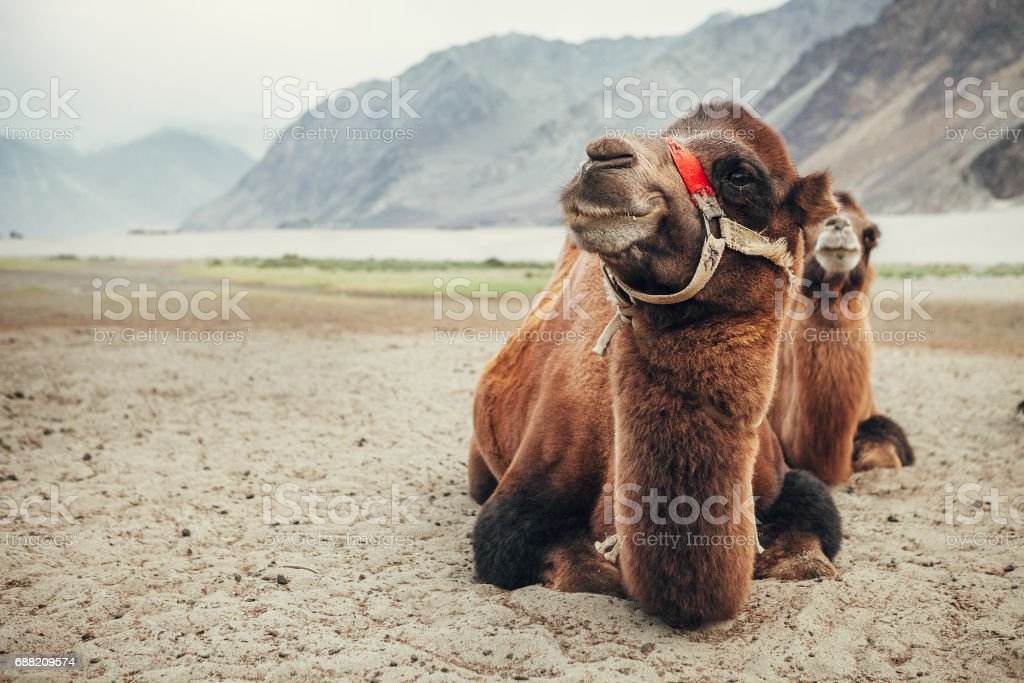 Camels in Nubra Valley stock photo