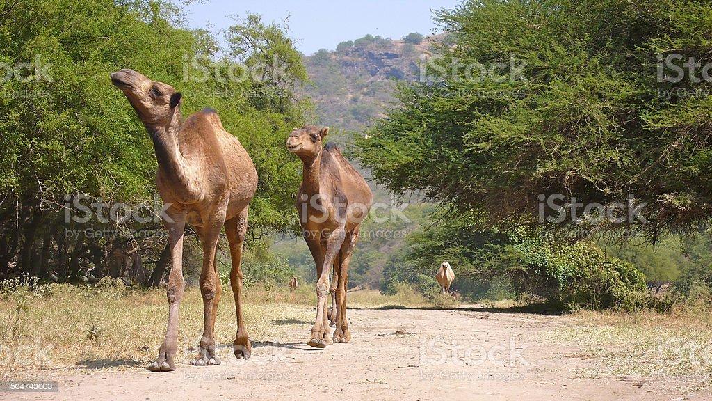 Kamele in Oman – Foto