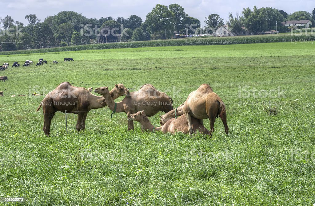 Camels in Pasture royalty-free stock photo