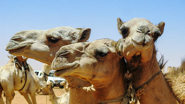 Camels in the camel market in Omdurman Sudan Camels in the camel market in Omdurman, Sudan omdurman stock pictures, royalty-free photos & images