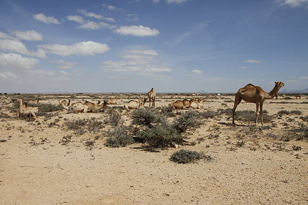 camels in the desert of somaliland - somalia stock photos and pictures