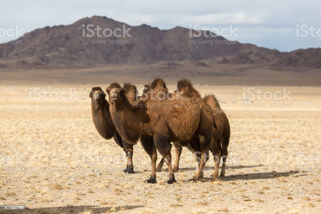 Camels in the desert of Western Mongolia. stock photo