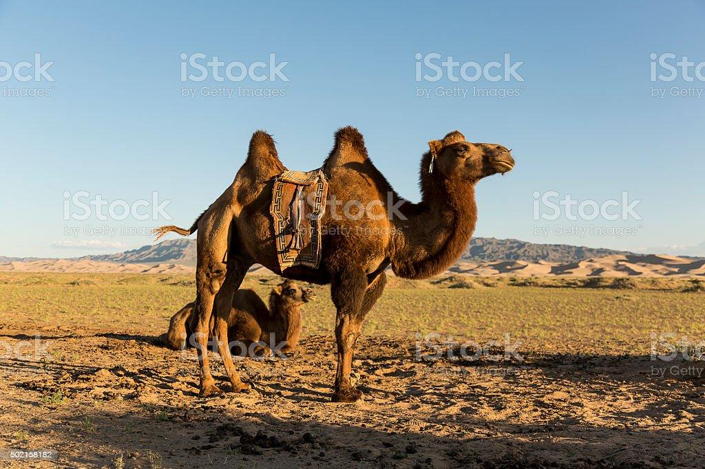 Camels in The Gobi Desert stock photo