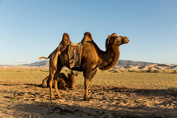 Camels in The Gobi Desert Camels of the Gobi Desert waiting for the sunset steppe stock pictures, royalty-free photos & images