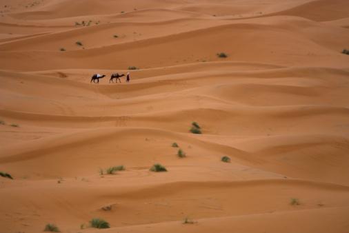 Desert camels grazing