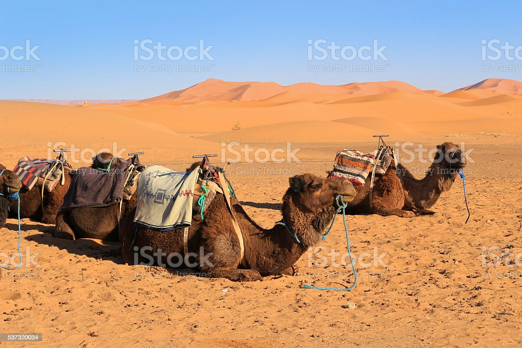 Camels in the Sahara desert stock photo