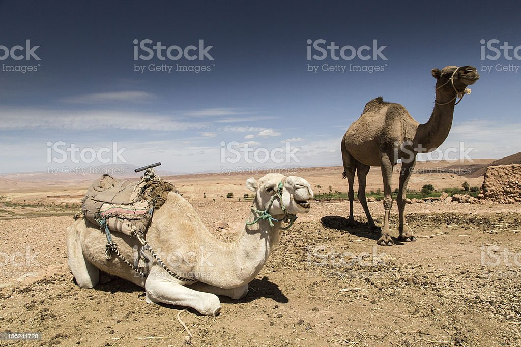 Camels in the Sahara, Maroc stock photo