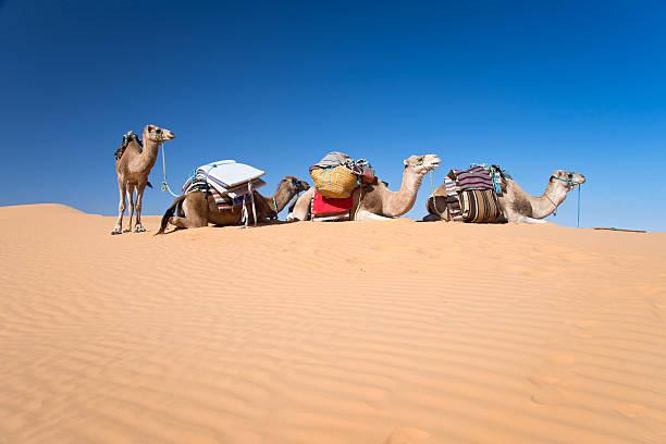 kamele in der wüste dünen der sahara, in tunesien - urlaub in tunesien stock-fotos und bilder