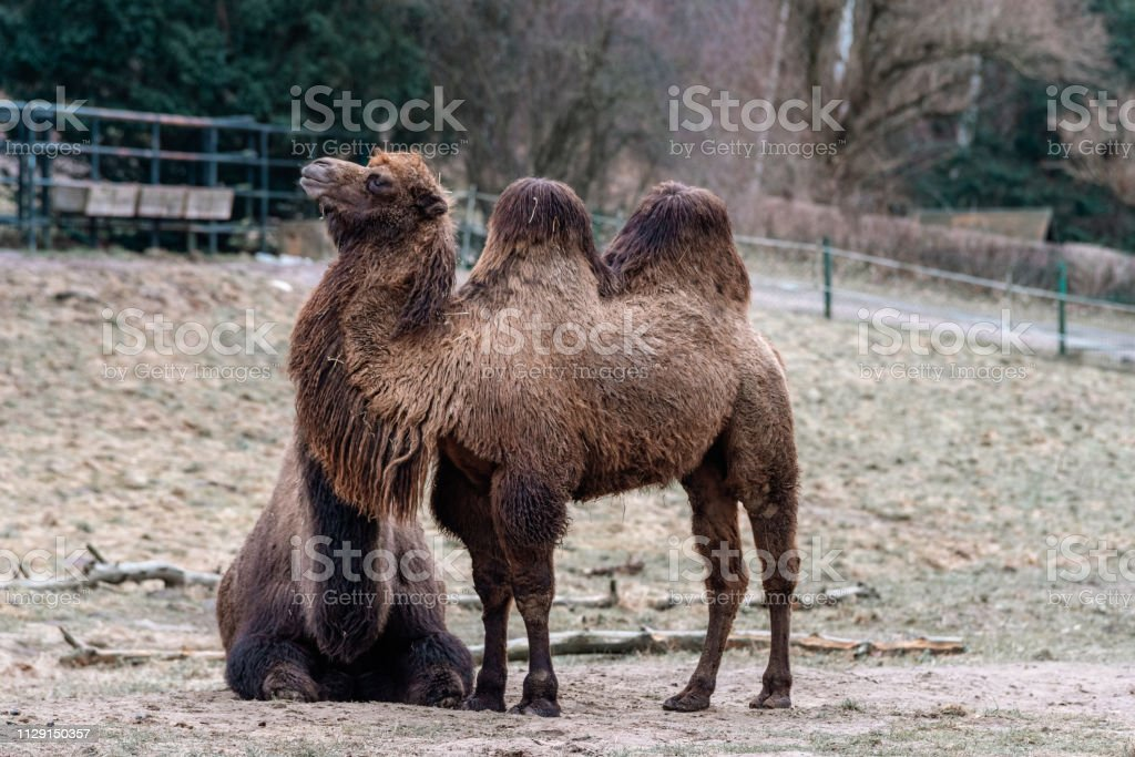 camels in the zoo – zdjęcie