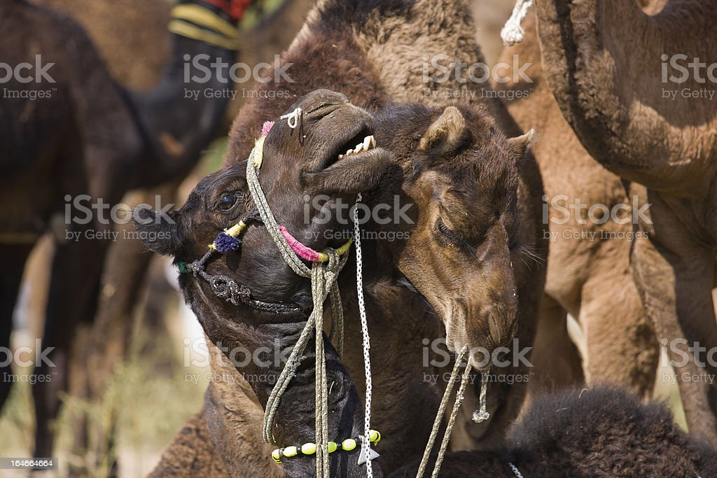 Camels, India royalty-free stock photo