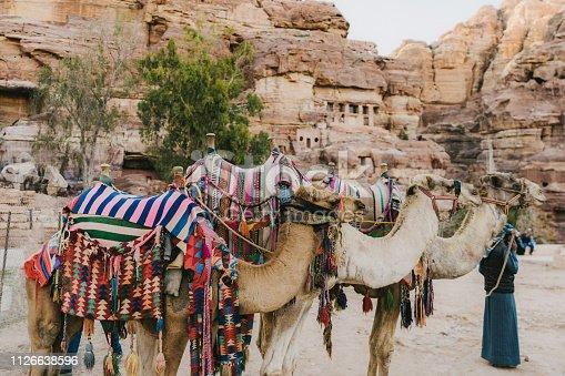 Camels resting  infront of Al-Khazneh in Petra