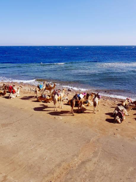 Camels near Blue Hole, Egypt stock photo
