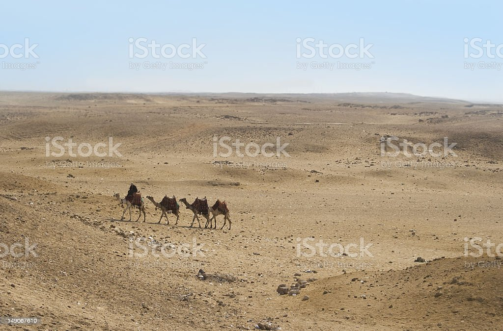 Camels of the egyptian desert royalty-free stock photo