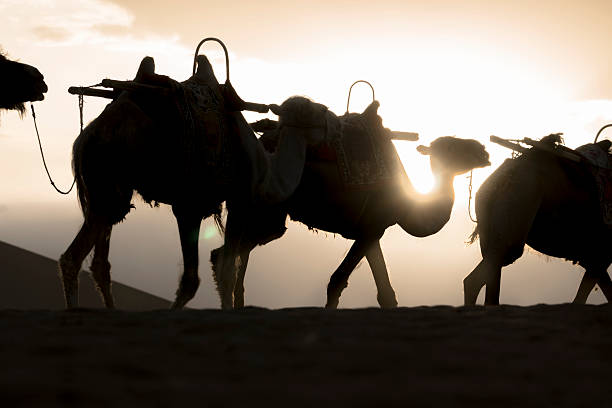 camels on desert at sunset camels on desert at sunset silk road stock pictures, royalty-free photos & images