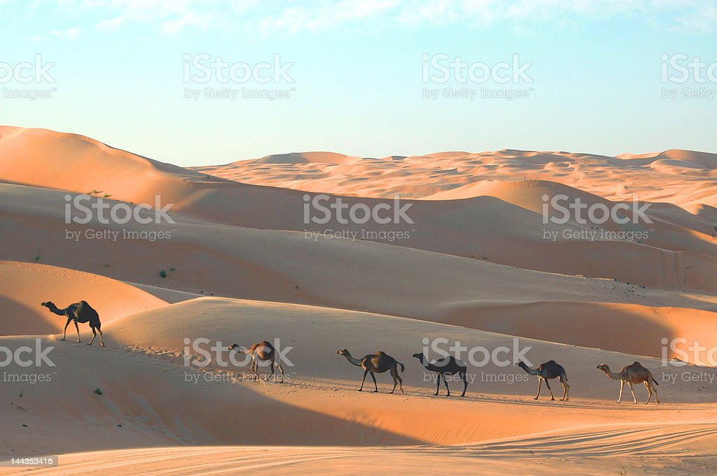 Camels on Sand dunes royalty-free stock photo