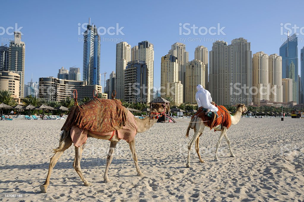 Camels on the Beach in Dubai stock photo