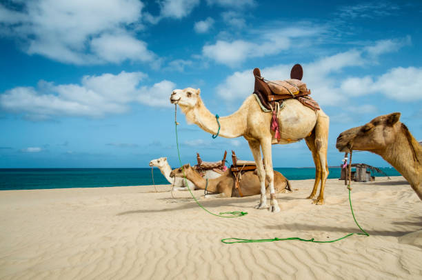 Camels On The Beach Of Boa Vista, Cape Verde stock photo
