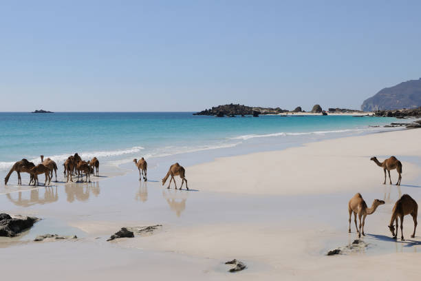 海灘上的駱駝, 阿曼 - oman 個照片及圖片檔