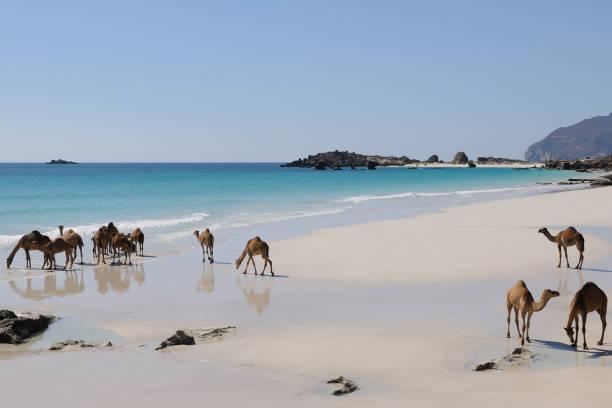 camels on the beach, oman - oman стоковые фото и изображения
