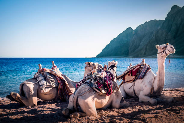Camels on the beach three Pools Dahab stock photo