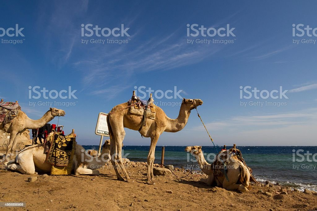 Camels 'parked' on the beach at the Blue Hole, Dahab stock photo