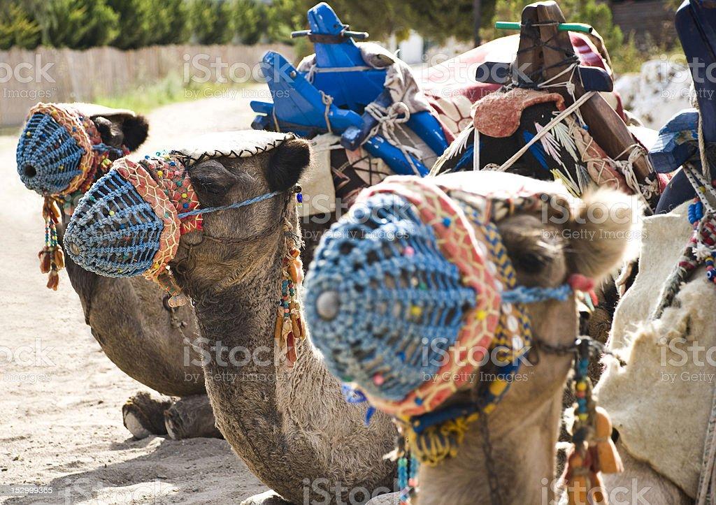 Kamele – Foto