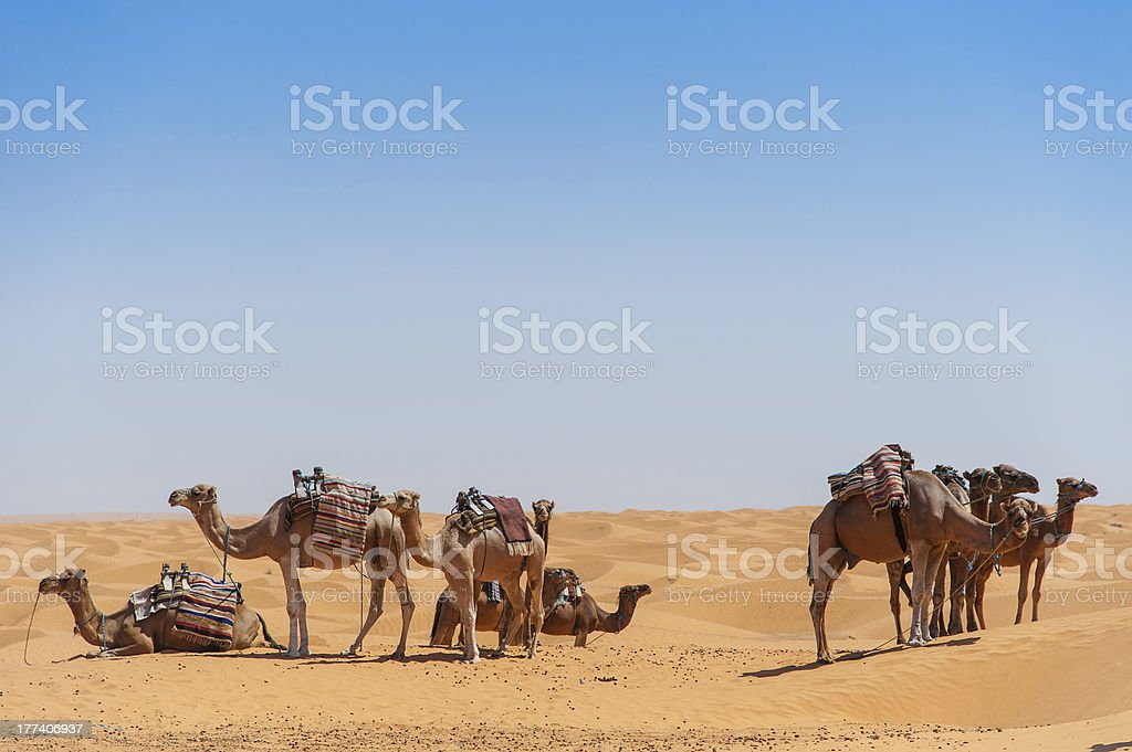 Camels stock photo