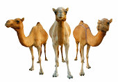 istock Camels 182148189