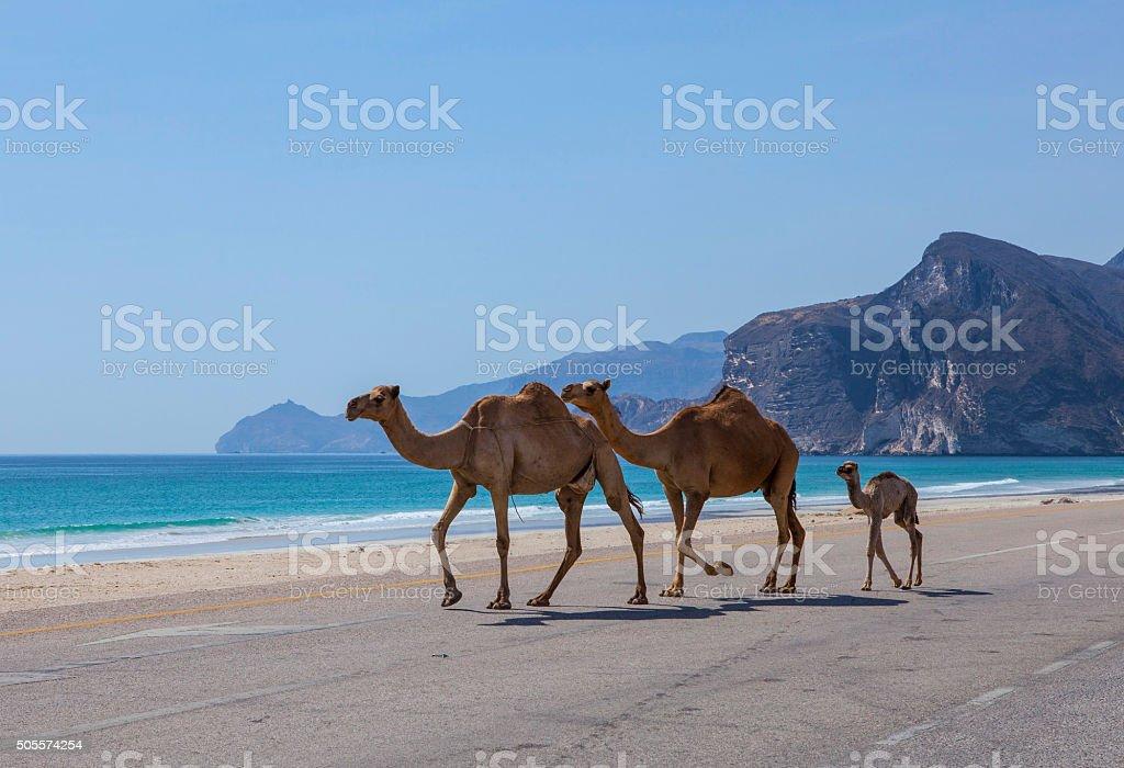 Изображение верблюдов - Стоковые фото Аравия роялти-фри