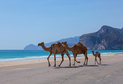 Изображение Верблюдов — стоковые фотографии и другие картинки Аравия