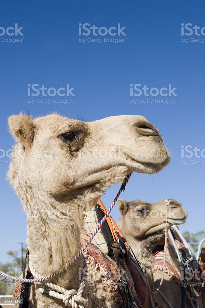 Camels profile - two royalty-free stock photo