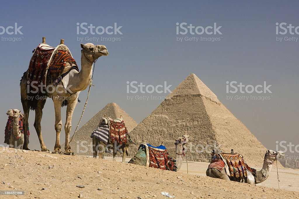 camels pyramids stock photo
