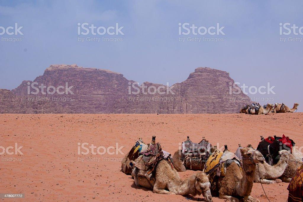 Camels Relaxing in Wadi Rum, Jordan stock photo