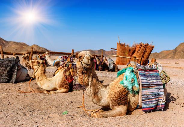 Camels rest in the desert picture id996267080?b=1&k=6&m=996267080&s=612x612&w=0&h=1w0a7yutbi4rnemdsdftdg80r8us zqcu3 tdrb yyc=