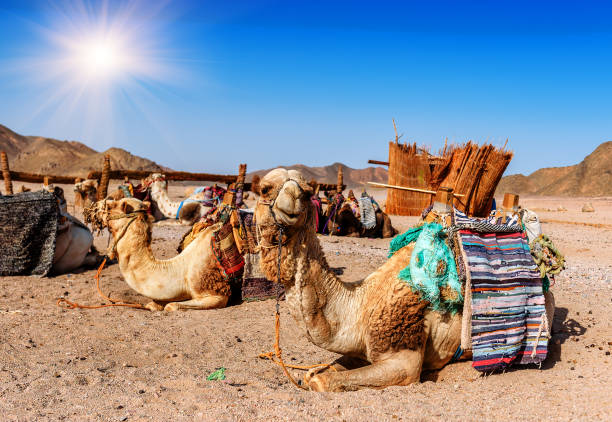 camels rest in the desert caravan of camels rests in desert under blue sky east africa stock pictures, royalty-free photos & images